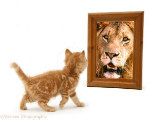 Ginger kitten looking in mirror and seeing a lion