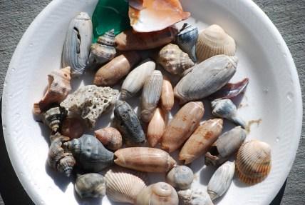 cleaned shells