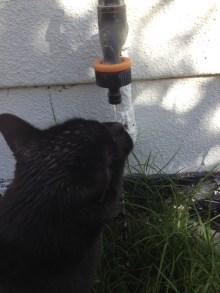 My Cat Drinking