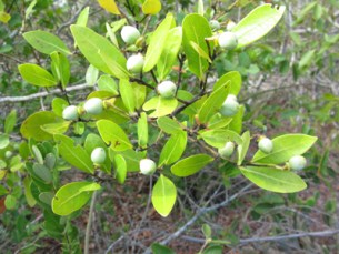 Ocotea Essential Oil