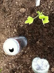 how to get rid of slugs image of can of beer