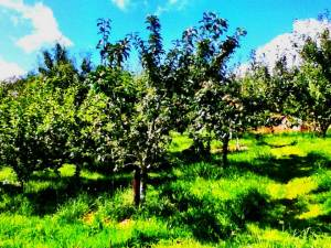 saving seeds. Traditional apple orchards