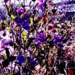 purple-sweet-peas