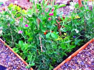 Sweet peas illustrating raised bed garden