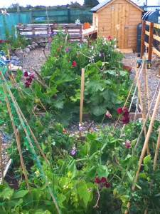raised bed garden sweet peas illustrating an article on wheelchair gardening