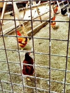hens in metal cages illustrating a post about free range eggs