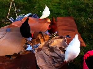 chickens-on-cardboard