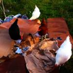 chickens-on-cardboard