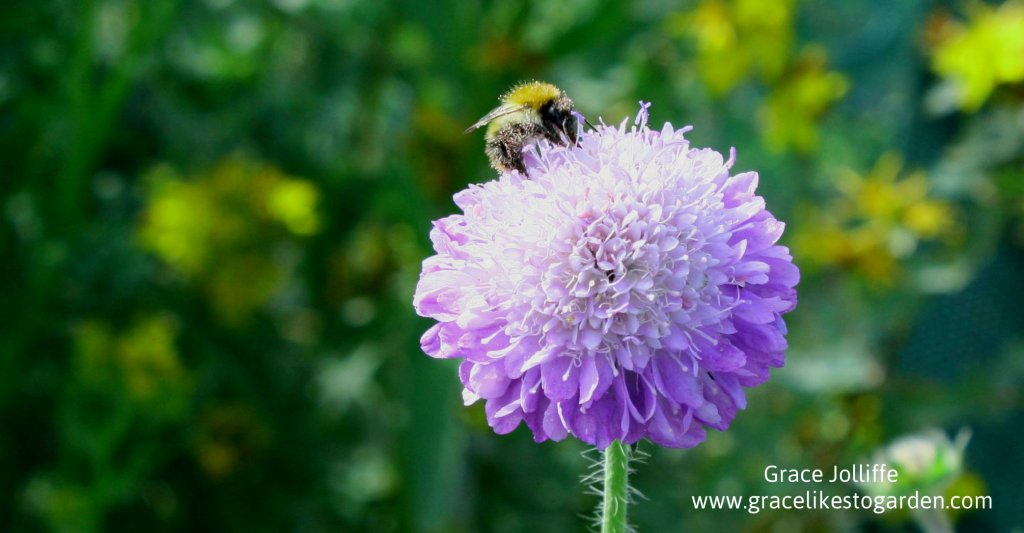 bee on a scabiosa flower