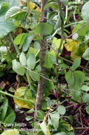 potato-plant