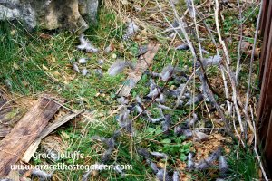 guinea hen feathers after a fox attack