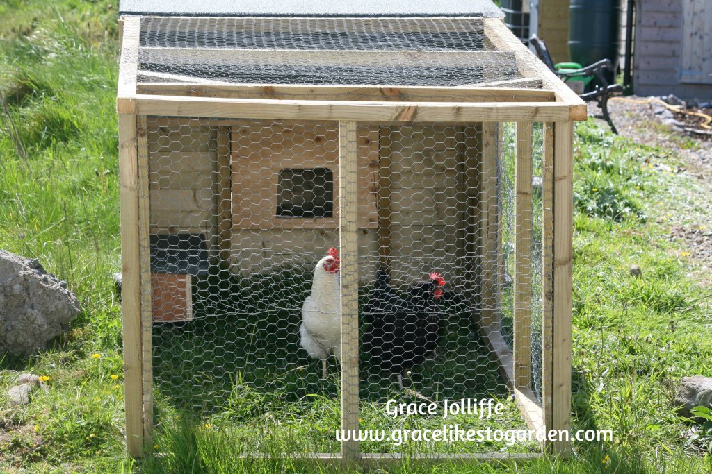 two hens in a chicken tractor - illustrating post about chicken tractors