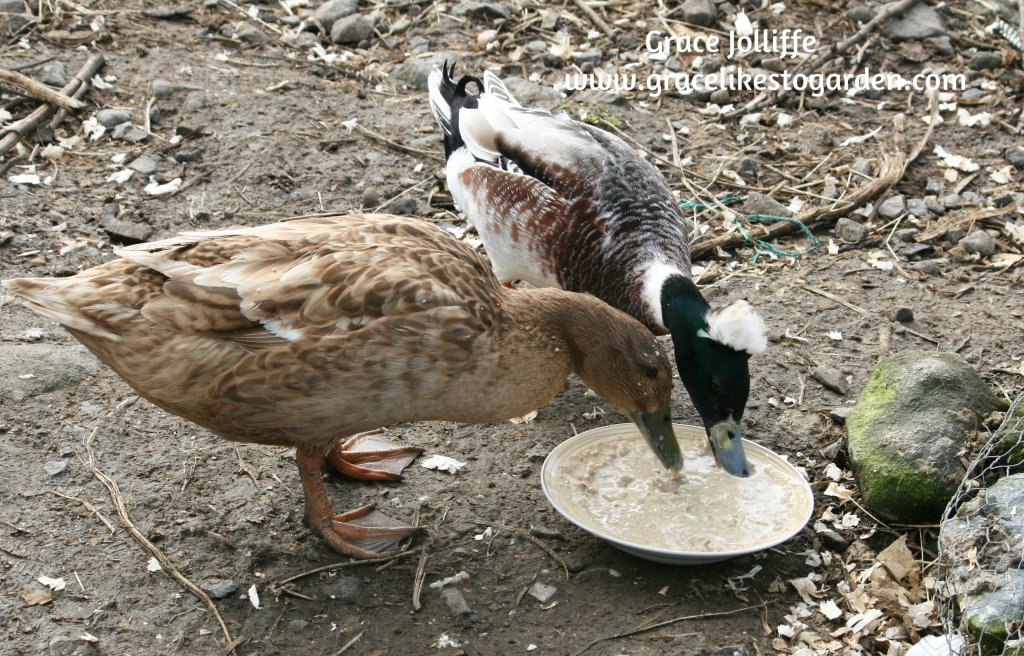 duck and drake eating porrige