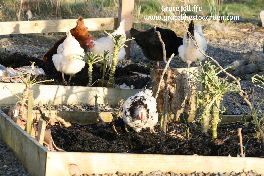 group of hens eating kale in a raised bed
