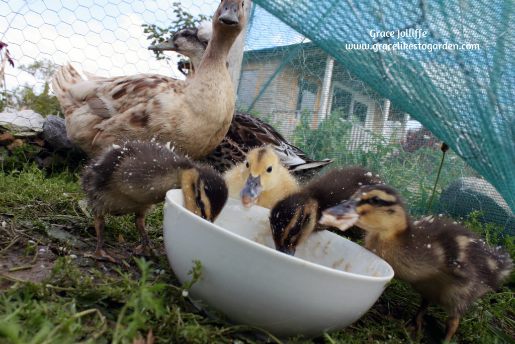 duck watching her ducklings eating from a bowl