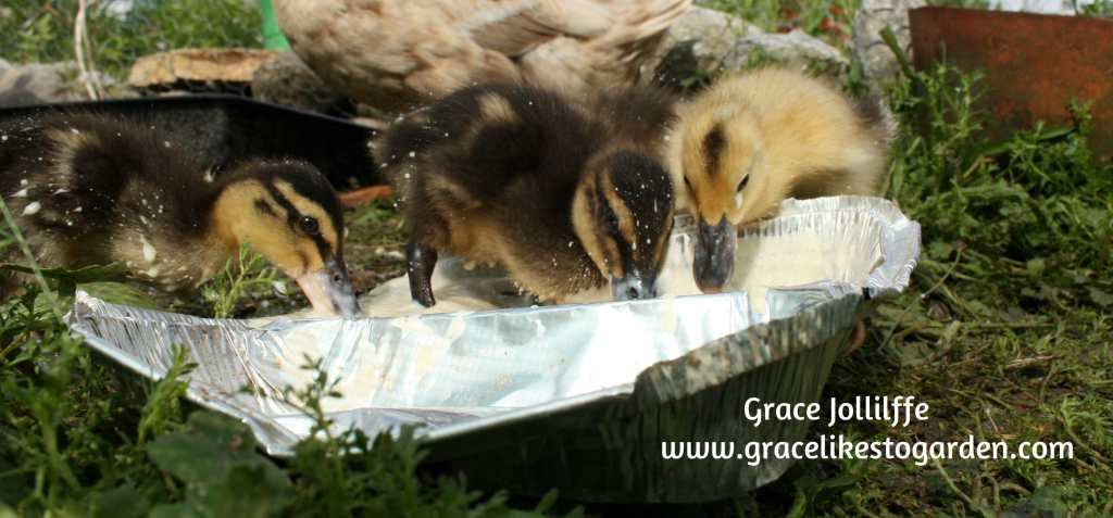 ducklings eating from a tin foil tray