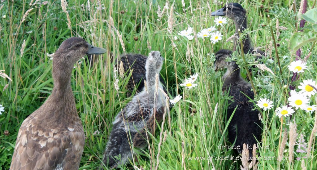 a family of ducks foraging in long grass and daisies