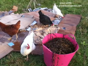 group of hens mulching cardboard and seaweed illustrating a post about a rainy day in Galway bay