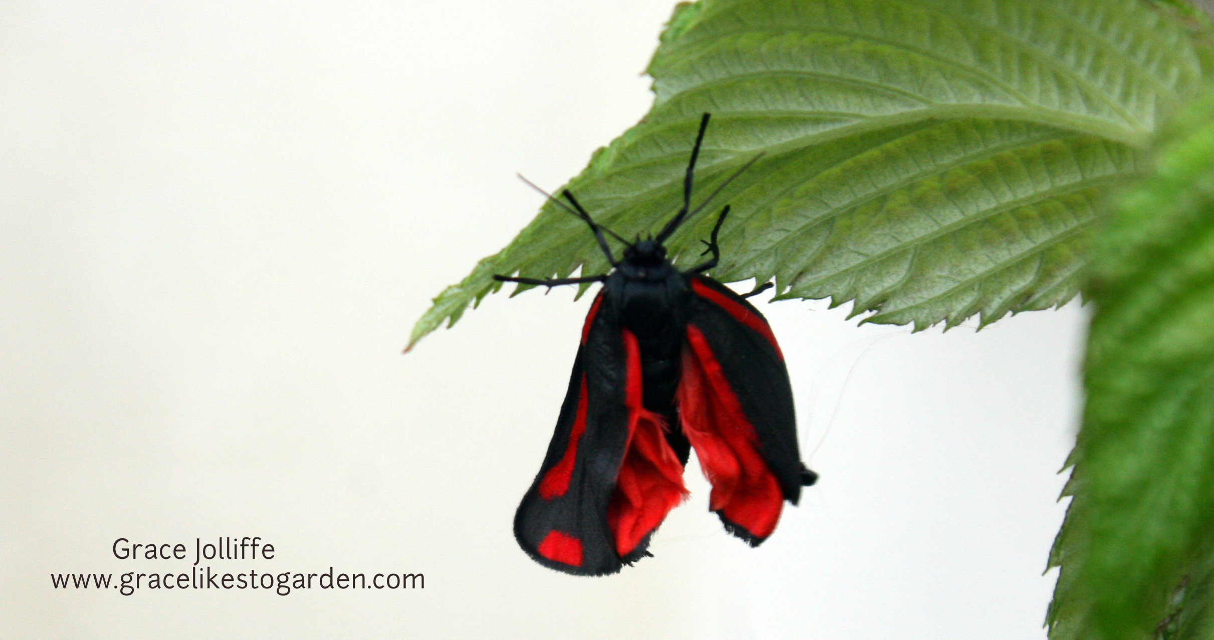 Burren Moth On A Raspberry Leaf Illustrating An Article About Creating The Butterfly  Garden