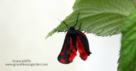 burren moth on a raspberry-leaf illustrating an article about creating the butterfly garden
