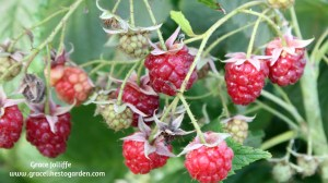raspberries growing on a bush illustrating an article about growing raspberries