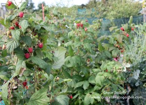 raspberry bush illustrating an article about growing raspberries