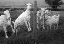 mrs-stradlings-goats-337