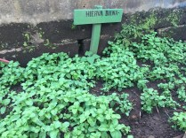 Spearmint - the good herb!