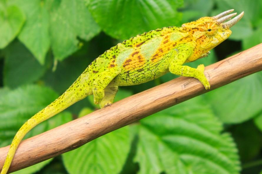 Jacksons Three Horned Chameleon Rwenzori Mountains National Park Uganda
