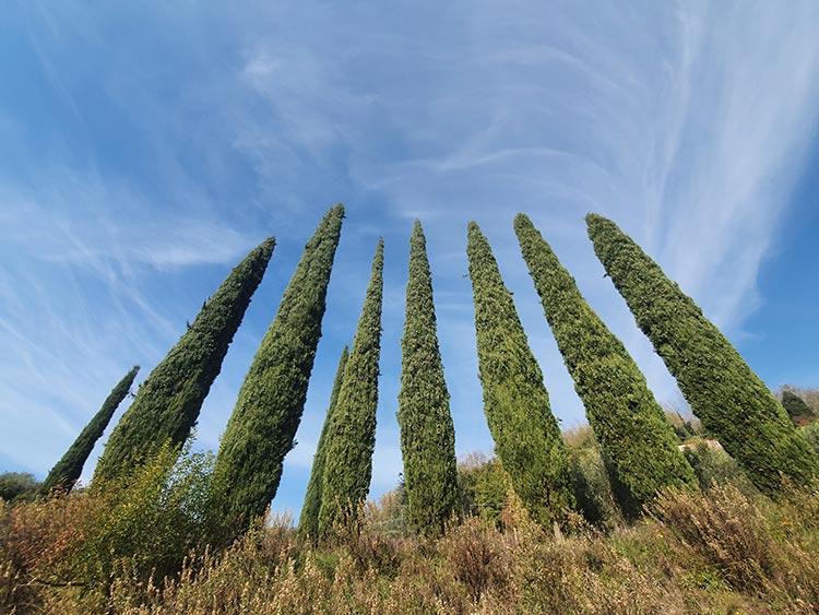 cypress trees tuscany