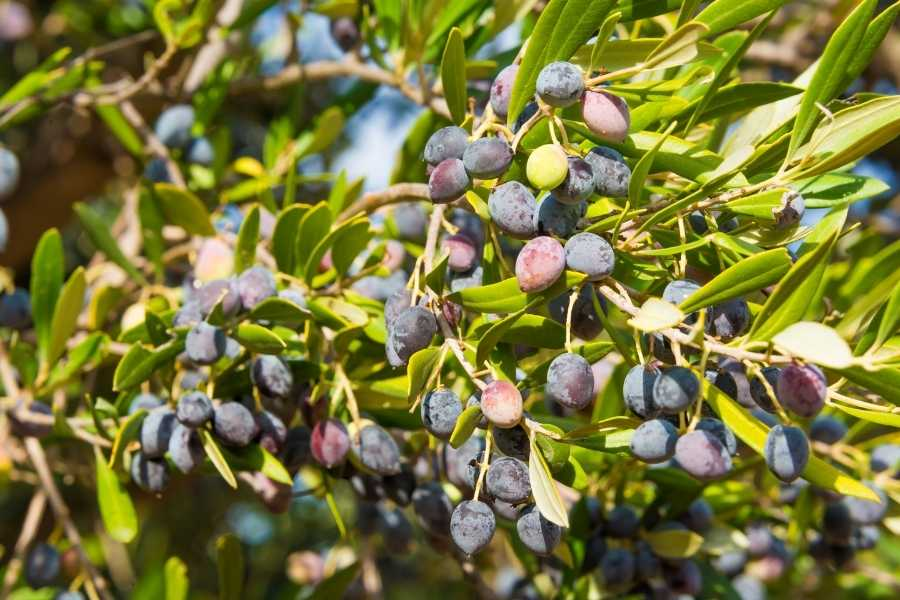The Olive Hope Tree – A Comprehensive Interactive Guide
