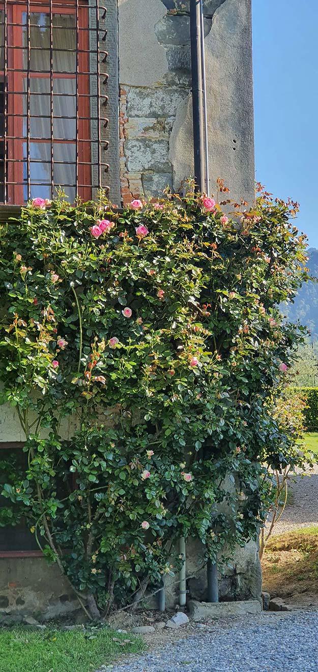roses-pink garden