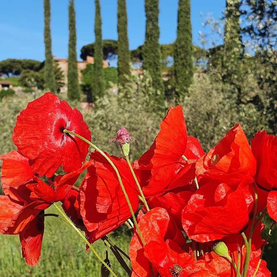 Poppies Tuscany
