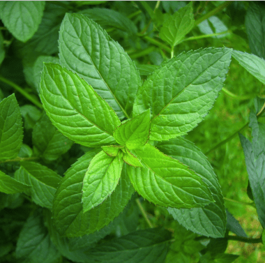 peppermint_leaf_copy__83227-1434943431-1280-1280