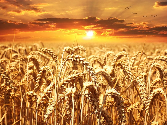 Is WHEAT, a better alternative?