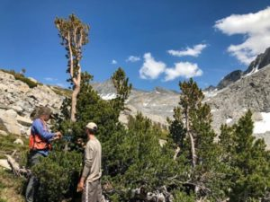 Crew taking whitebark data, Yosemite National Park.