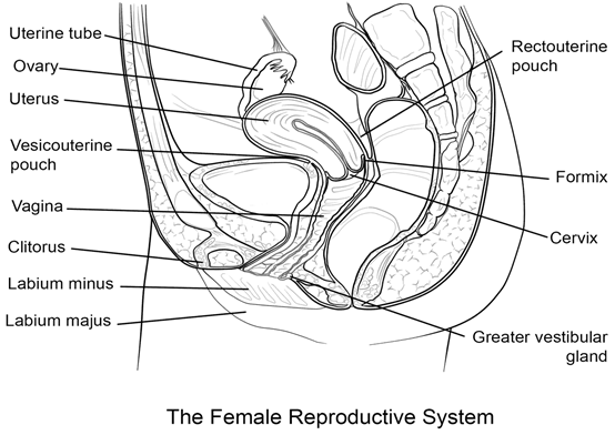 Draw a labelled diagram of female reproductive system.