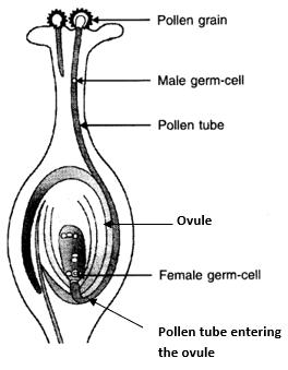 Distinguish between pollination and fertilisation. Mention