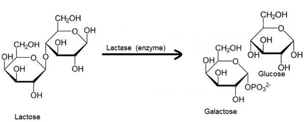 Write the products of hydrolysis of lactose.