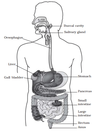 Label figure of the digestive system: