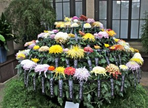 Surpriza: toate aceste crizanteme cresc pe o singura tulpina