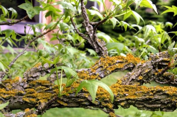 Scoarta de Liquidambar cu licheni