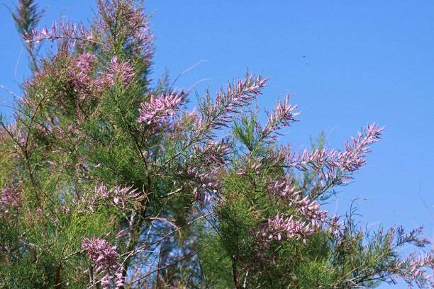 Crengute cu flori de Tamarix