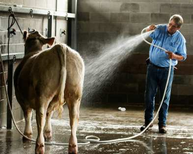 Mike Mobley, from Moultrie, Georgia, washes his show cow at the Georgia National Fair on Saturday, October 7, 2017, in Perry, Georgia. (Photo/Dori Butler)