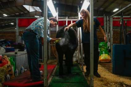 Noah Davis, 16, and Katelyn Tuttle, 18, add the finishing touches to Noah's show cow, Maybelline, at the Georgia National Fair in Perry, Georgia on Saturday, Oct. 7, 2017. After grooming for several hours, one of the last steps before showing is spraying the cow with black finish spray and hair oil to add color and sheen to the coat. (Photo/Steffenie Burns)