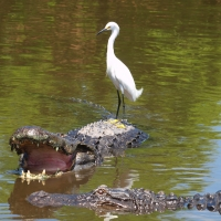 Alligator Olympus - Nikon Imaging