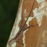 Brown Anole lizard Olympus - Nikon Imaging