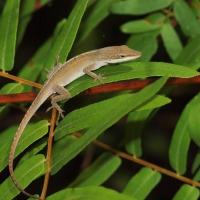 Anole Lizard Olympus - Nikon Imaging