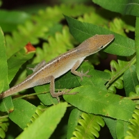 Brown Anole Lizard Olympus - Nikon Imaging