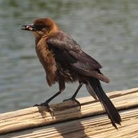 Rusty Black bird Olympus - Nikon Imaging